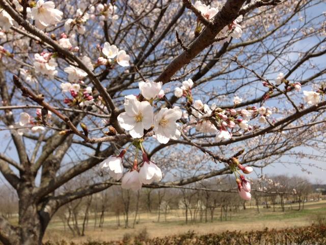 ✿桜を見に行きました✿